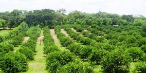 Producción de limón persa en Veracruz genera derrama de mil 700 millones de pesos