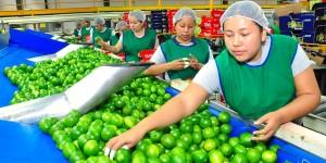 Deja limón persa 2 mil 400 millones de pesos en derrama económica a Veracruz