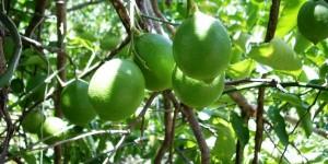 Impulsa SEDARU Cultivo de Limón para apoyar el mercado interno en Quintana Roo
