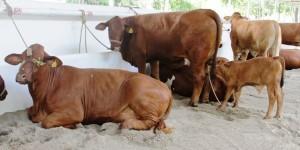 Exposición Nacional de Ganado Beefmaster en los festejos de Villahermosa
