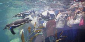 Éxito total el Pingüinario; registra Acuario de Veracruz 7 mil visitas al día