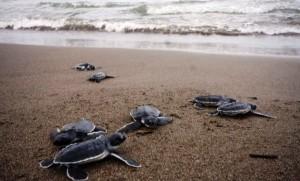 Libera PMA más de 300 tortugas en Nautla y Vega de Alatorre
