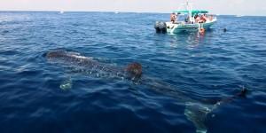 Concluye exitosamente temporada de avistamiento del Tiburón Ballena