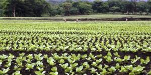 Veracruz, segundo lugar nacional en producción de tabaco