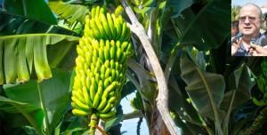 Lazaran campaña para promover consumo de plátano