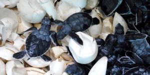 Aumenta número de nidos protegidos en Centro de Investigación y Conservación de la Tortuga Marina