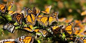 Mariposa monarca llega a Mexico