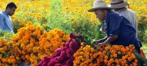 La flor de cempasúchil es endémica de nuestro país