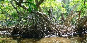 Grave error, modificar o devastar manglares en los litorales: UNAM