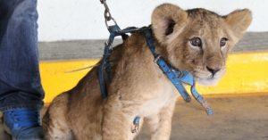 Asegura PROFEPA un cachorro africano en Iztapalapa Ciudad de México