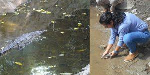 En Chiapas, PROFEPA rescata a cocodrilo de rio adulto y libera 7 crías de la misma especie