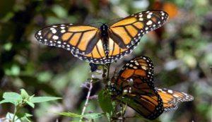 Visita los santuarios de la Mariposa Monarca