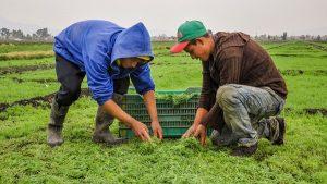 Preparan productores cosecha de romeritos para temporada navideña y de fin de año