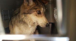 Coadyuva PROFEPA en la reintegración de 11 lobos grises mexicanos en nuevo Casas Grandes, Chihuahua