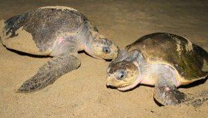 La PROFEPA, SEMAR y CONANP, protegen 1.2 millones de Tortugas Marinas durante 2016