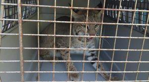Rescata PROFEPA y reintegra tres ejemplares de gato montés en Tamaulipas