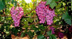 Exportarán productores de Sonora uva de mesa fresca a Australia