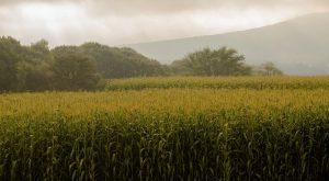 Fortalece México autosuficiencia en la producción de maíz blanco