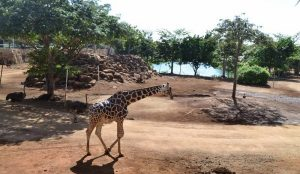 "Problemas digestivos causan muerte de la Jirafa ""Mamah"" en Zoológico Aminaya: PROFEPA"