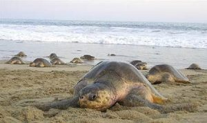 Arriban 873 mil 746 Tortugas Golfina a Playa Morro Ayuta, Oaxaca