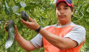 """Aumenta 24 por ciento exportación de aguacate """"Hecho en México"""" en enero"""