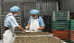 Aumenta producción de camarón 65.5 por ciento en cuatro años