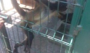 Rescata PROFEPA Mono Araña abandonado en una caja en Boca del Rio Veracruz