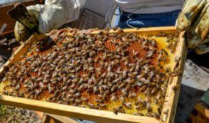 """Miel """"Hecho en México"""", símbolo de calidad y sabor en el marco del Día Mundial de las Abejas"""