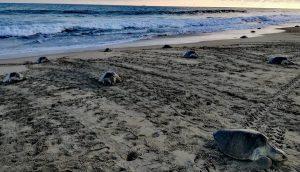 Asegura PROFEPA casi un millar de huevos de Tortuga Golfina en Oaxaca