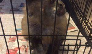 Asegura PROFEPA un ejemplar de Mono Capuchino en edad senil reportado en redes sociales