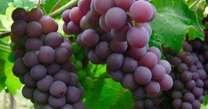 No todas las uvas son para vino