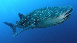 Tiburón ballena, emblema del aprovechamiento sustentable