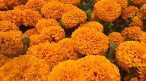 Las Flores de Cempasúchil y Calaveritas invaden zona de mercados en Veracruz