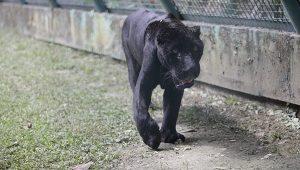 Llega jaguar al Parque Museo la Venta en Tabasco
