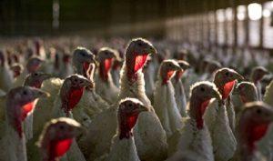 Garantiza SAGARPA carne de pavo en época decembrina