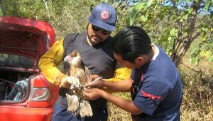 Reintegra PROFEPA un ejemplar Caracara a su hábitat en Colima
