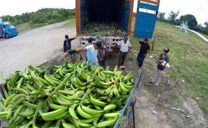 Reanudan productores de La Isla exportación de plátano macho a EU