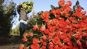 Garantiza SAGARPA abasto de rosas para este 14 de febrero