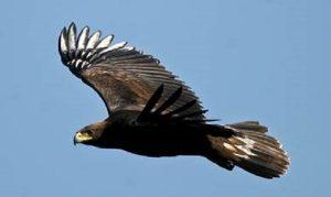 Aumenta número de parejas reproductivas de Águila Real registradas en México