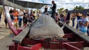 Atiende PROFEPA varamiento de Tiburón Ballena encontrado muerto en la bahía de la Paz BCS