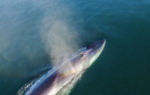 La ballena azul, la especie más grande del planeta llega a México