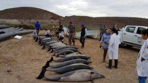 Atiende PROFEPA varamiento de Delfines en la Paz, Baja California Sur
