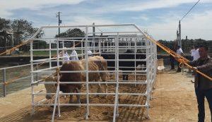 Llevan a cabo embalse y suelta de toros en Tlacotalpan