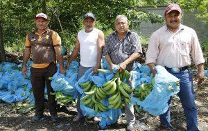 Logran precio récord, productores de La Isla en exportación de plátano macho a Estados Unidos