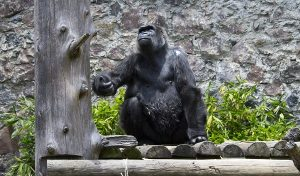 "Muere Gorila ""Arila"" en parque ecológico zacango"
