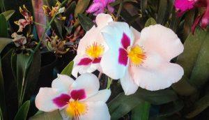 Promocionan Feria Nacional de la Orquídea de Coatepec, Veracruz