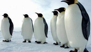 Día Mundial del Pingüino, carismática especie en peligro de extinción