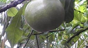 El árbol de las jícaras fortalece nuestros campos