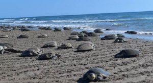 Tortugas lora registran la arribazón más numerosa desde 2011 en el Santuario de Rancho Nuevo