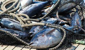 Pesquería del atún se posiciona como una actividad sustentable de clase mundial